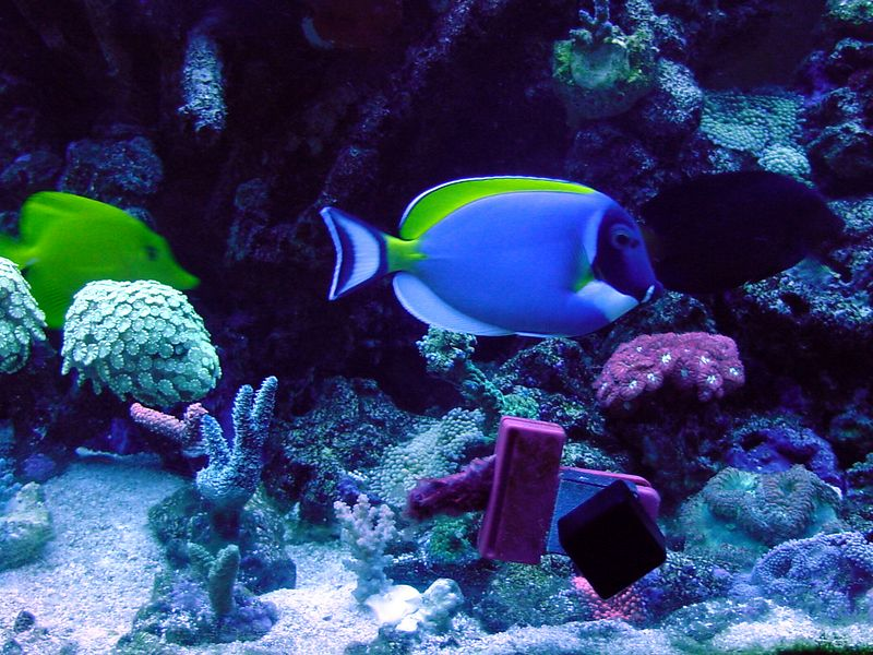 Powder Blue, Yellow and Purple tangs. 100 gallon reef tank. No longer set up.
