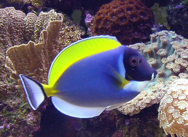 Powder Blue tang. 100 gallon reef tank. No longer set up.