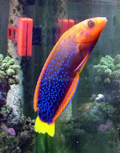 Red Coris Wrasse. 100 gallon reef tank. No longer set up.