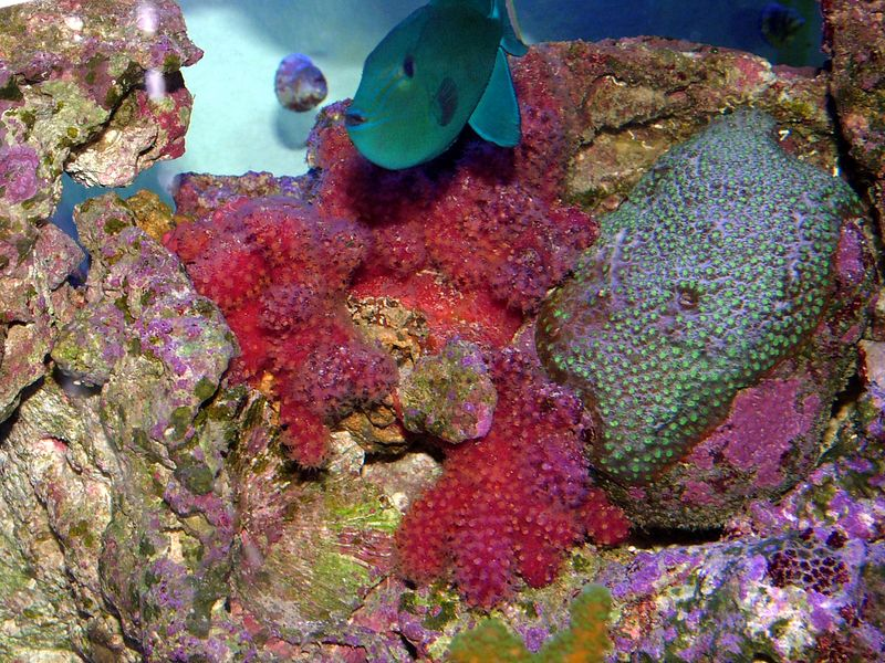 Chile coral. Sept 7 2005. 150 gallon.