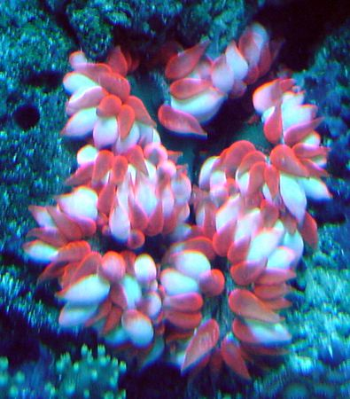 Flower anemone. 37 gallon reef tank with lion fish. No longer set up.
