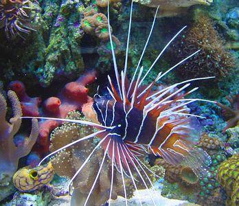 Radiata Lion fish. 37 gallon reef tank with lion fish. No longer set up.