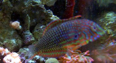 Ornate leopard Wrasse. 37 gallon reef tank with lion fish. No longer set up.