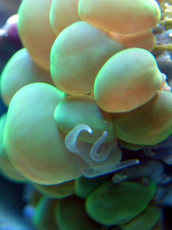 Sept. 5, 2005. Neon Green Bubble Coral. 6 gallon nano