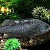 grayfish
