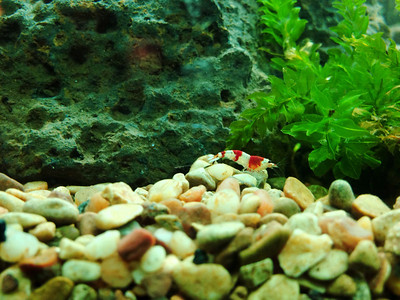 "This is a juvenile crystal red shrimp. There's a whole grading system involving what their markings look like and how many of them there are. I happened to like the lower-grade ones better than the so-called ""high-grade;"" go figure. I got more for my money that way, though!"