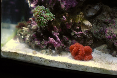 Metallic Green Torch Coral Euphyllia glabrescens Pineapple Coral Blastomussa Wellsi