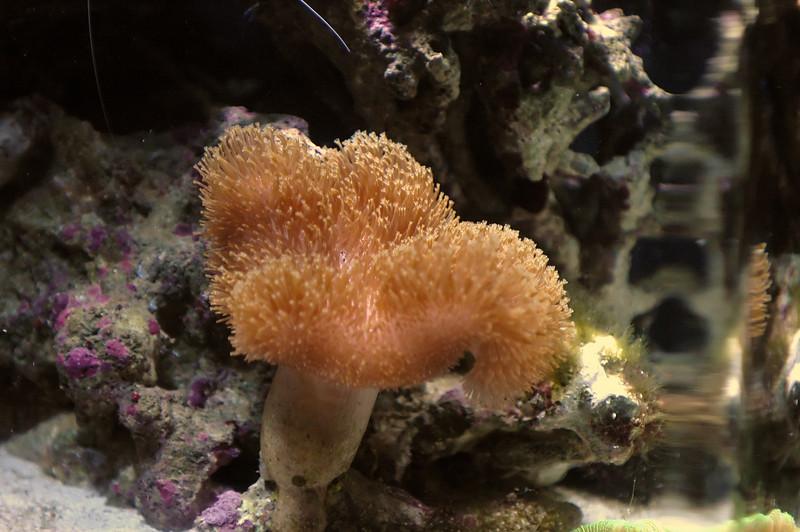 Mushroom Leather CoralSarcophyton sp.