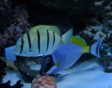 James Mason  powder blue, convict tang