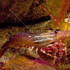 Shrimp come in many different colors. Red, brown,white and green are the most common.