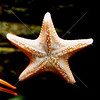 Starfish hanging on the side of a fish tank.