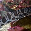 seymour-16  leopard shark