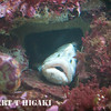seymour-21-2  Monkeyface eel  Cebidichthys violaceus
