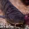 seymour-29  Leopard shark