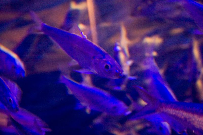 Little purple fish at the National Aqaurium Baltimore
