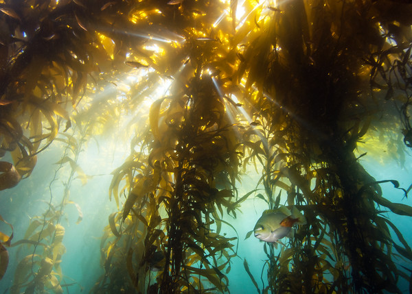 Sunshine creeps through the kelp forest