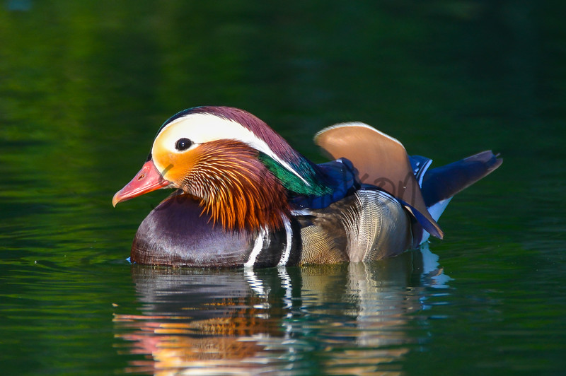 That's not a Wood Duck...