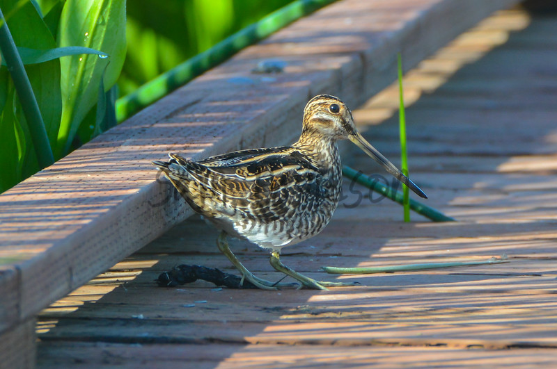 Boardwalk Snipe