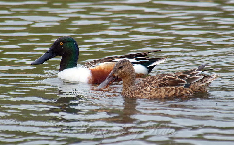 A Pair Of Shovelers