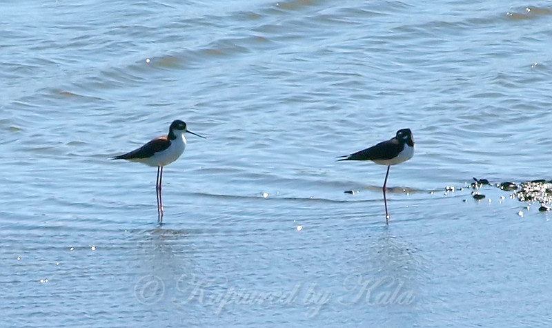 Black-necked Stilts View 2