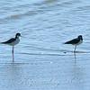 Black-necked Stilts View 2