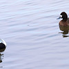 Mr & Mrs Lesser Scaup