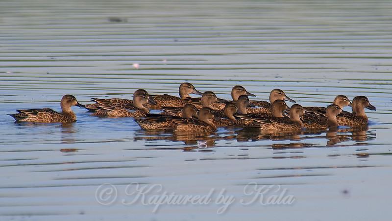 Flock Of Migrating Blue-winged Teal