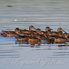 Flock Of Migrating Blue-winged Teal