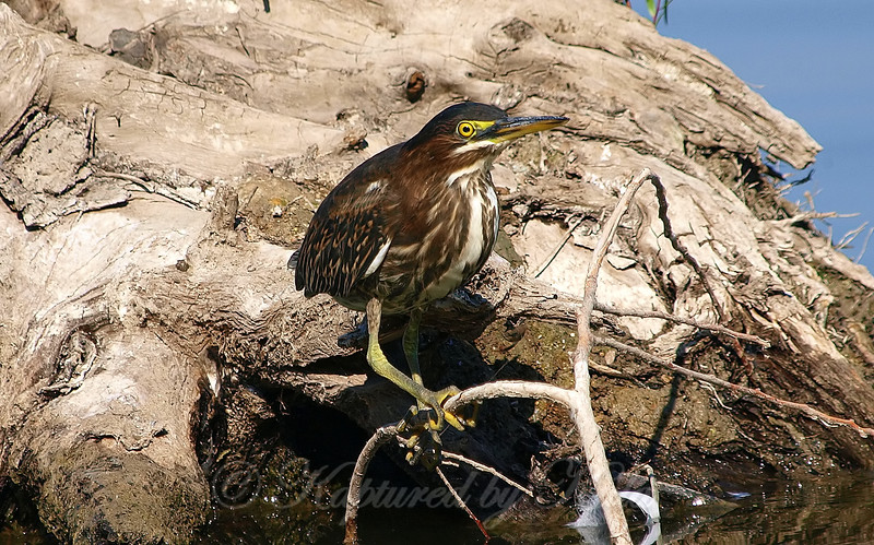 Close Encounter With A Green Heron Part 7