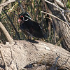 Dark Wood Duck View 1