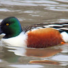 The Beautiful Colors of a Northern Shoveler