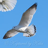 Second Winter Ring-billed Gull In Flight