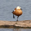 Ruddy Shelduck View 14