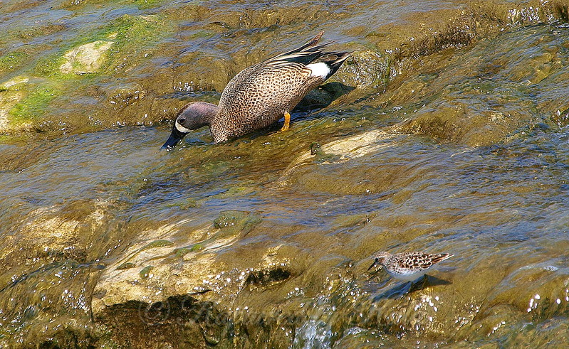 Blue-winged Teal With Least Sandpiper