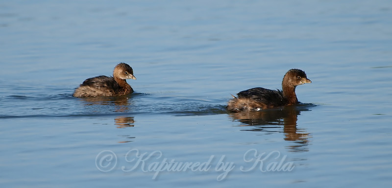 A Pair Of Pied-billed Grebes