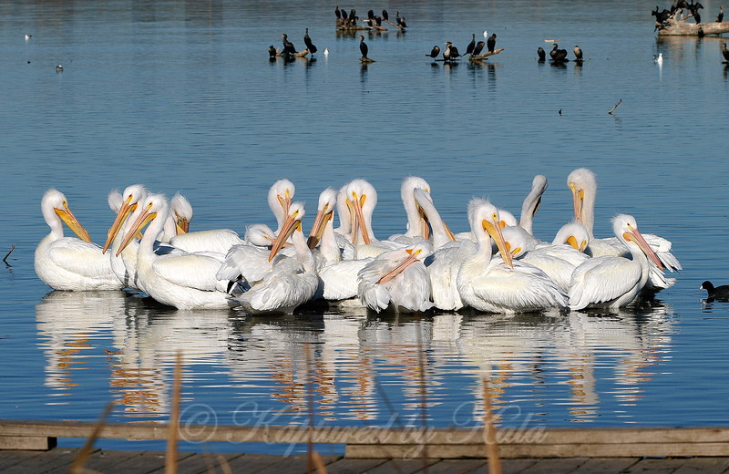 The Pelicans Of Sunset Bay