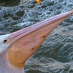 Pelican Wars Part 5