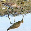 Reflecting On A Willet