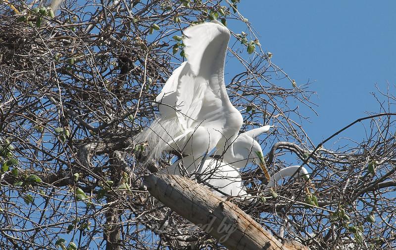 Great Egret Mating Behavior Part 1 of 7