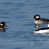 Buffleheads View 2