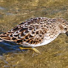 Least Sandpiper in Breeding Plumage