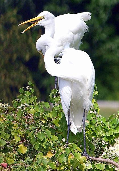 Great Goofy Egrets