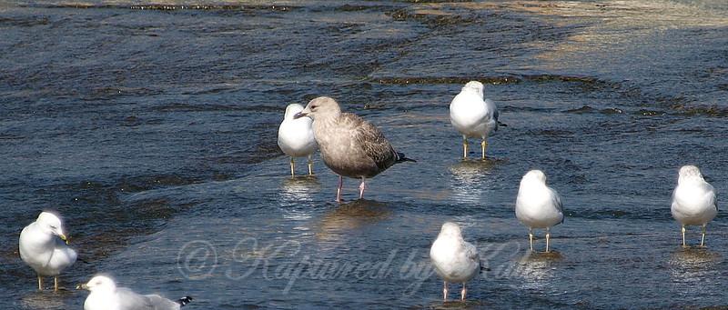 Juvenile Herring Gull View 2