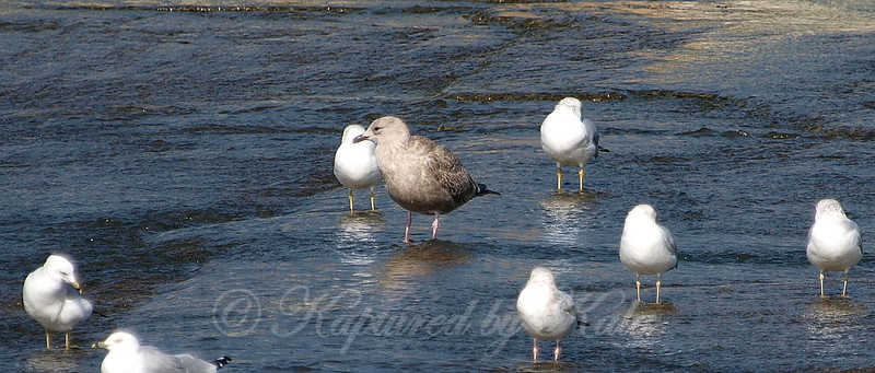 Juvenile Herring Gull View 2