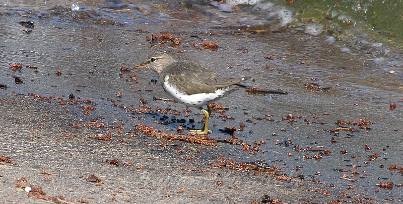 Spotted Sandpiper Below Me