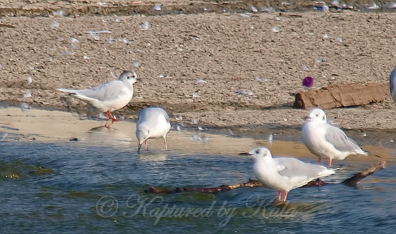 Little Gull View 3