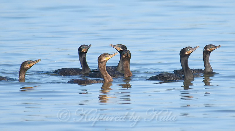 Cormorant Fishing Party