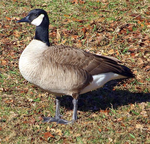 Lesser Canada Goose View 2