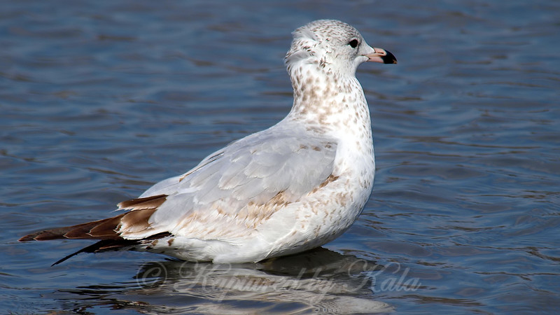 First Winter Ring-billed Gull
