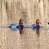 A Scaup Joins The Coot & The Redheads